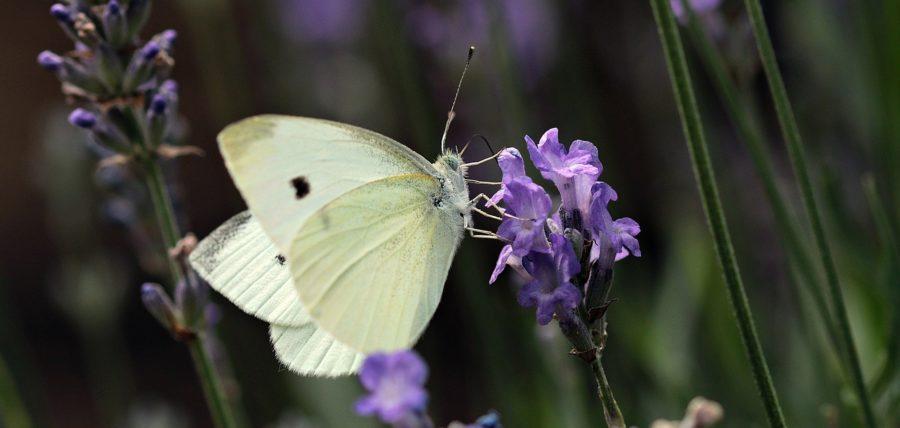 11 La mariposa blanca